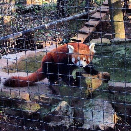 Welsh Mountain Zoo: Gorgeous red panda!