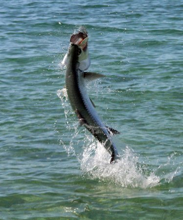 North Riding Point Club: Yes, there are tarpon here too...