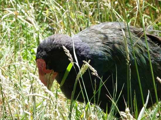 ZEALANDIA Sanctuary: Takahe at Zealandia / Karori