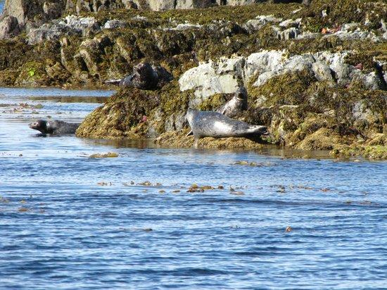 Aquatic Alaska Adventures: Harbor Seals hanging out on the rocks.