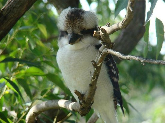 Eaglereach Wilderness Resort : Kookaburra