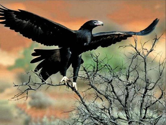 Eaglereach Wilderness Resort: Wedge-tailed eagle