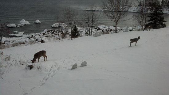Cove Point Lodge: Three deer out getting some lunch.