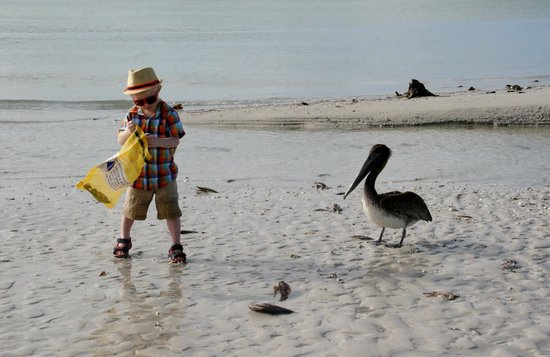 Marco Island, FL: The pelican was helping him look for shells :-)