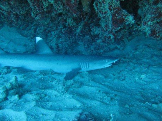 Manini Dive Company: Shark