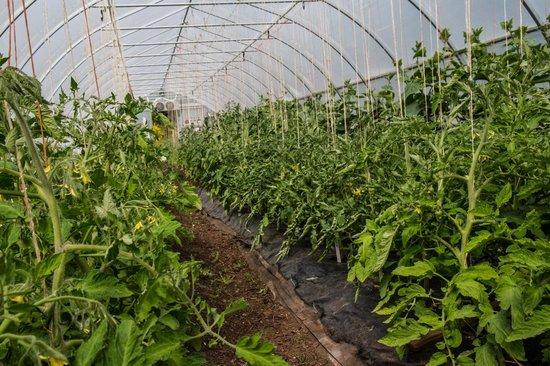 PineRidge RV Park and Farm Market: Tomato heaven