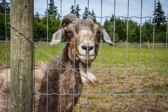 PineRidge RV Park and Farm Market: Rosemary our cantankerus goat