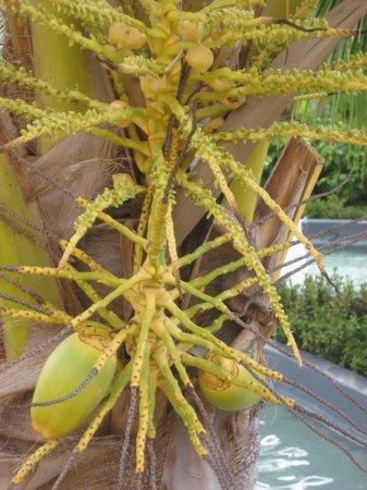 Iberostar Rose Hall Suites: Native fruit tree