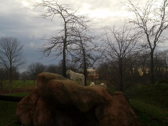 Toronto Zoo: The White Lion