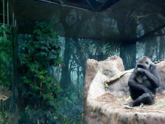 Toronto Zoo: Gorilla are like Humans