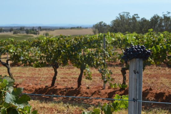 Wine Country Tours: Shiraz vines planted 1879