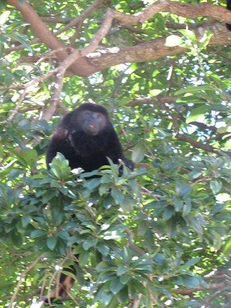 Iberostar Tucan Hotel : Howler monkey