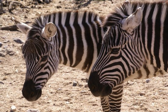 Out of Africa Wildlife Park: zebras roam the park