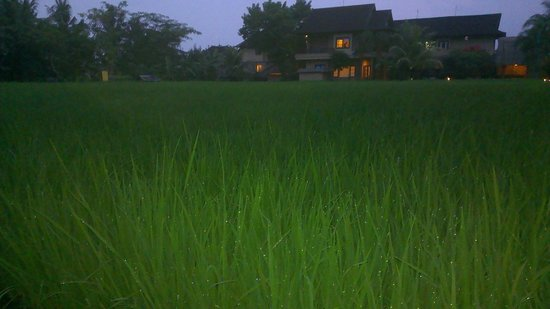 Komaneka at Monkey Forest : View of a padi field from the hotel grounds