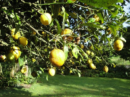 Kamahi Cottage: Beautiful garden with lemon tree