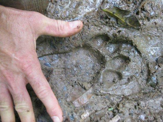 Cockscomb Basin Wildlife Preserve : Jaguar paw print.