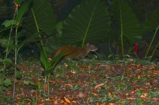 Kalapiti Luxury Jungle Suites: Agouti
