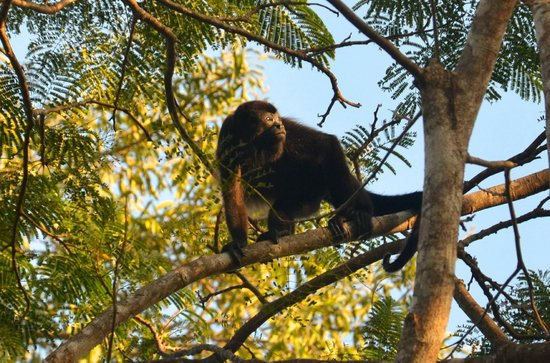 Kalapiti Luxury Jungle Suites: Visiting howler monkey