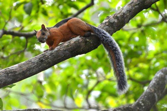 Kalapiti Luxury Jungle Suites: Squirrel