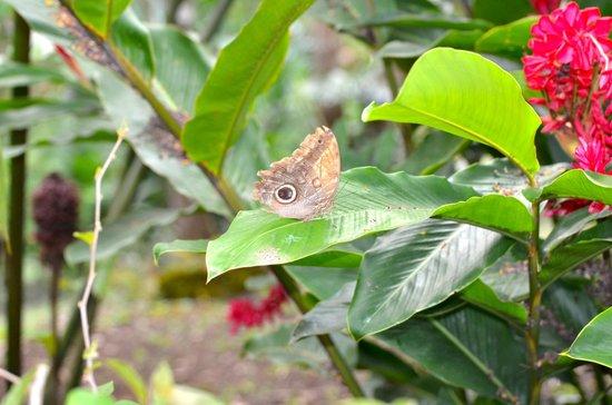 Kalapiti Luxury Jungle Suites : Big & beautiful butterflies