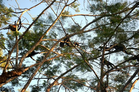 Kalapiti Luxury Jungle Suites : Arrival of troop of howler monkeys