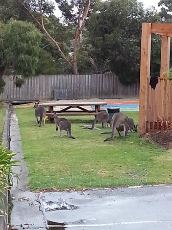 BIG4 Anglesea Holiday Park: waking up to these beautiful creatures was magical