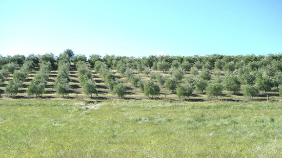 Longview Farmstay Bed and Breakfast: Olive Grove