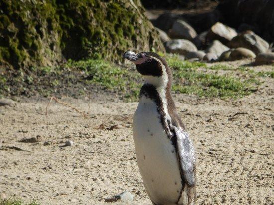 ZSL London Zoo: Humbolt Penguin