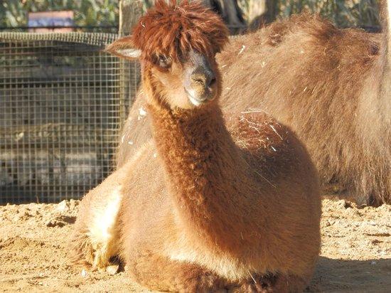 ZSL London Zoo: LLama Drama!