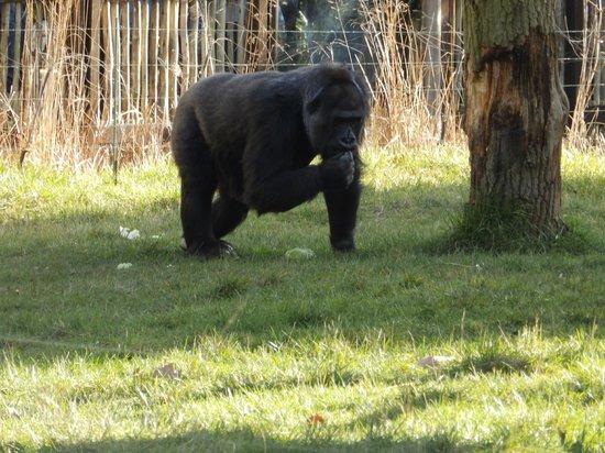 ZSL London Zoo: Gorilla Enclosure