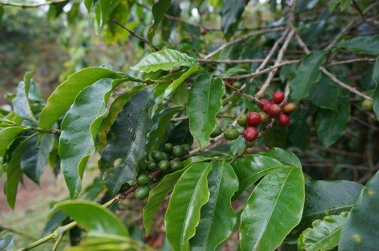 Posada El Quijote: Modne kaffebønner