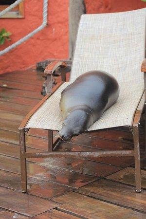Red Mangrove: lobo marino en reposera del hotel