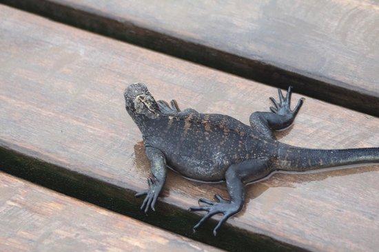 Red Mangrove: iguana en el deck del hotel