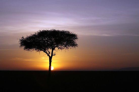 Mara Bush Camp: Acacia sawn