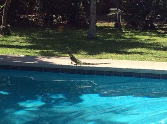 Hotel Samara Beach : our morning iguana by the pool