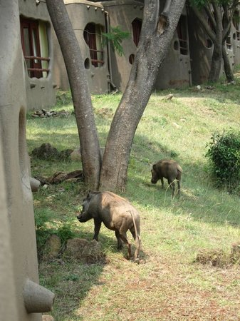 Mara Serena Safari Lodge: View of wart hogs from room