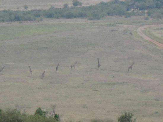 Mara Serena Safari Lodge : View from room of giraffes below