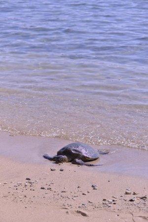 Hanauma Bay Nature Preserve : 亀