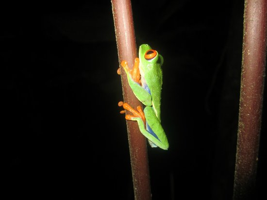 Arenal Oasis Eco Lodge & Wildlife Refuge: Froggy