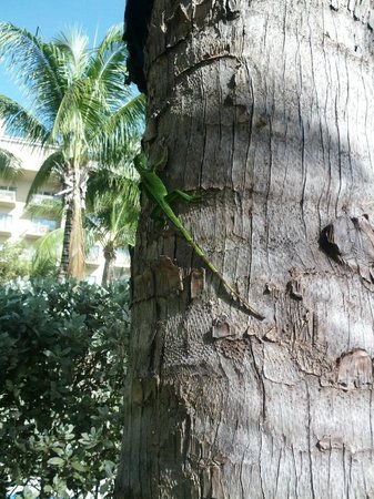 The Ritz-Carlton, Grand Cayman: A friendly lizard