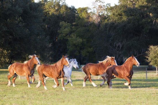 Old South Carriage Company: The herd at Old South Carriage Co.'s very own Sugah Cain Plantation, where the horses play!