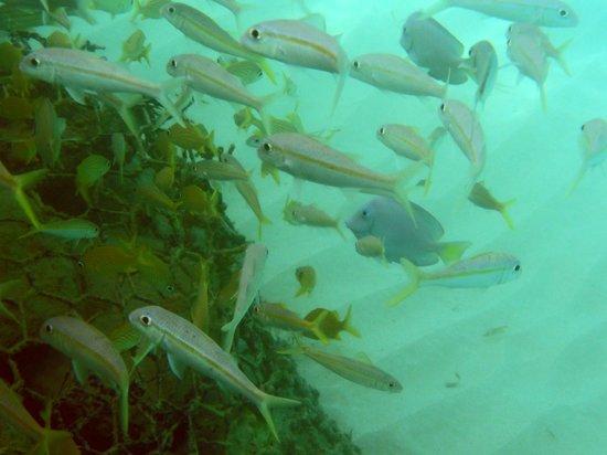 Sandals Royal Plantation : Snorkelling off the Gazebo pier