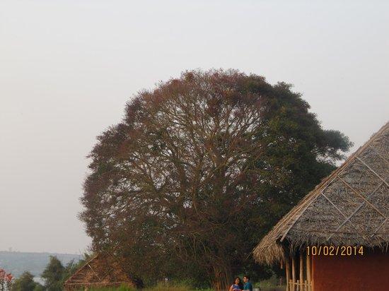Orange County Resorts Kabini : approx 200 years old peepal tree