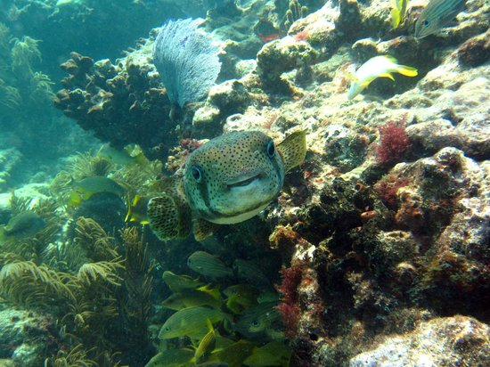 Tilden's Scuba Center: Porcupine fish - sombrero reef