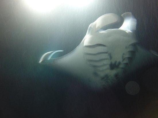 Espace Plongee: Manta ray taken that night