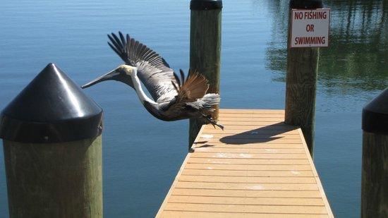 MB at Key Largo: Pelican Takeoff