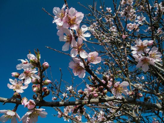 Lasa Heights Hotel : Almond trees in bloom near the hotel