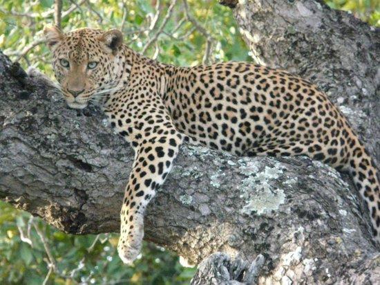 Thornybush Waterside Lodge : Leopard @ Thorny Bush Waterside Lodge