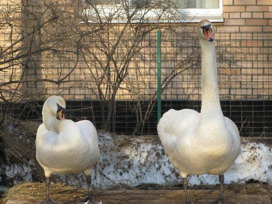 Park-Hotel Sheremetevskiy : Лебеди