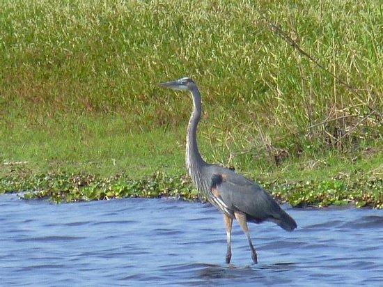 Myakka River State Park: Blue Heron